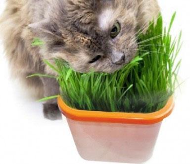 Выращивание травы для кошек и других домашних животных