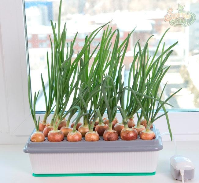 Выращивание зеленого лука на окне